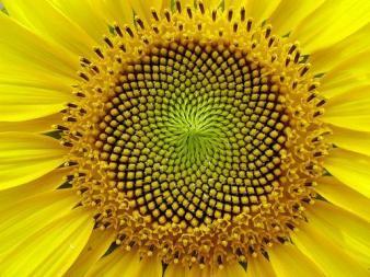sunflower_2
